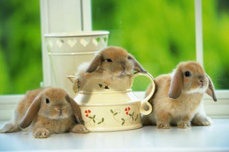 Декоративные кролики развенчание мифов