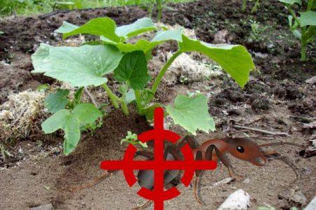 Муравейник на огороде